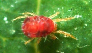 Красный паутинный клещ на листе