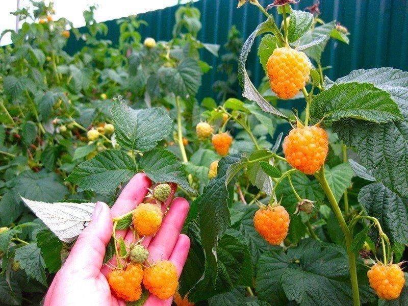 Куст жёлтой малины с ягодами