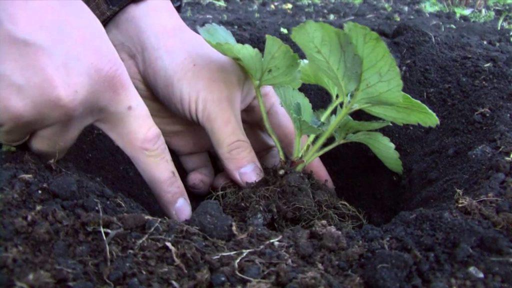 Посадка садовойземляники
