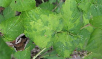 Светлые мозаичные пятна на листьях малины