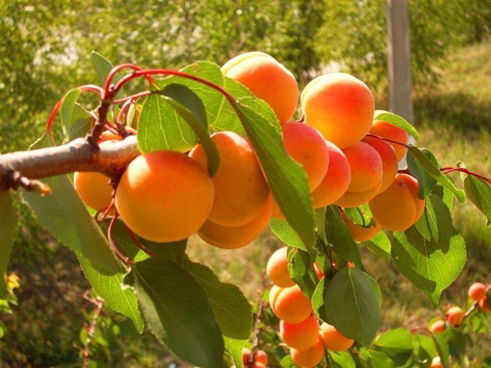 Выращивание абрикосов в сибири 429