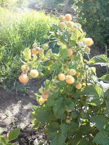 Высокий куст малины с жёлтыми ягодами