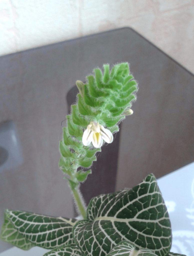 цветение фиттонии