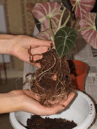 Удаление осыпающейся земли при пересадке