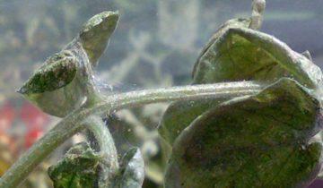 растение, поражённое паутинным клещом