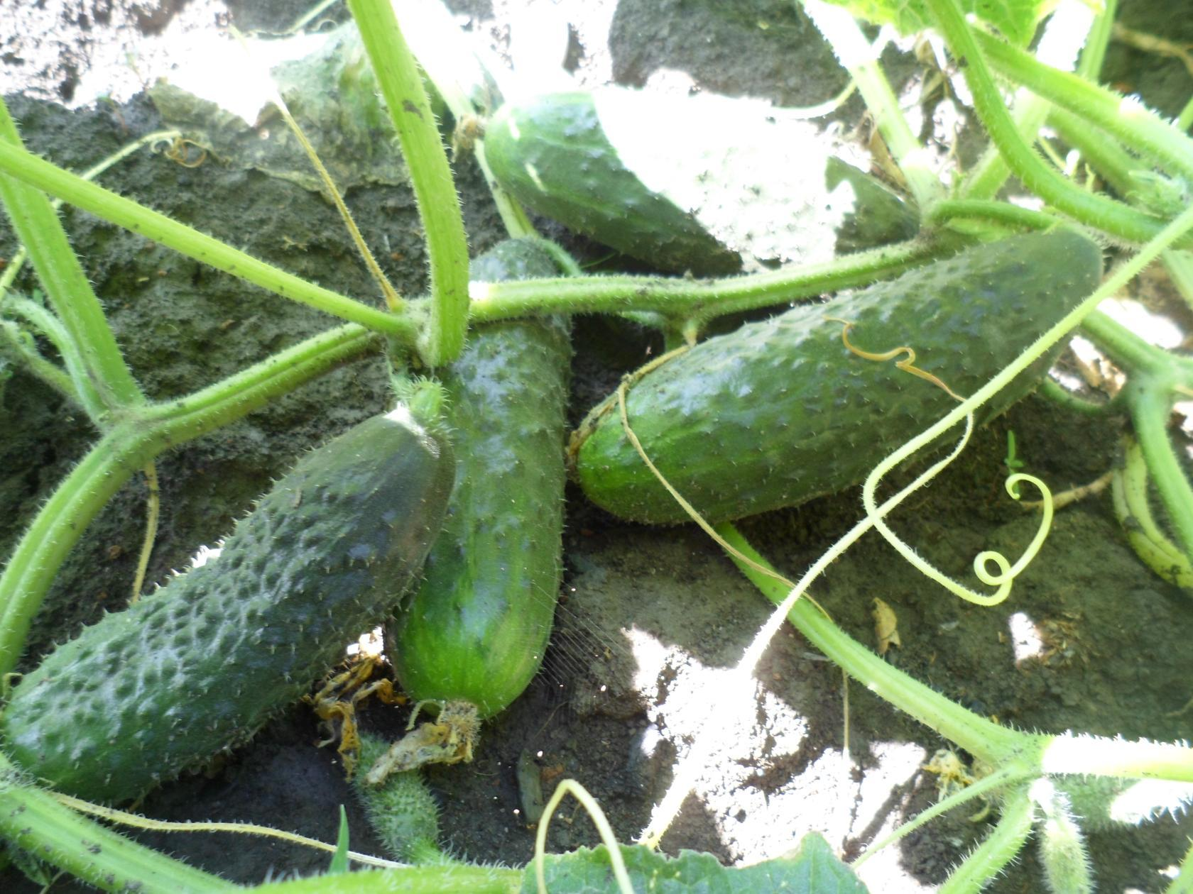 Выращивание огурцов для открытого грунта 44