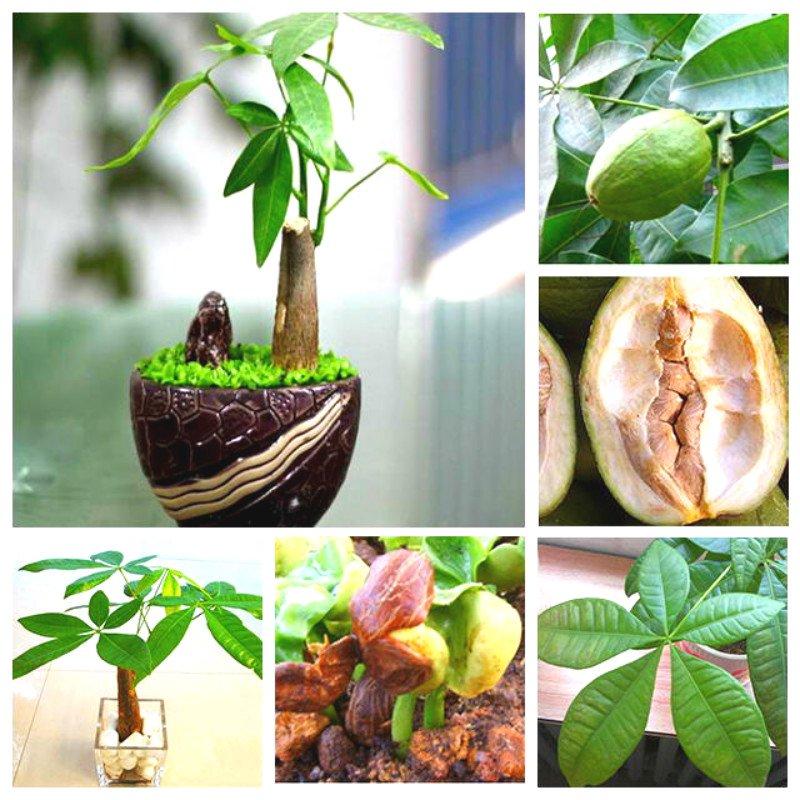 Проращивание семян пахиры