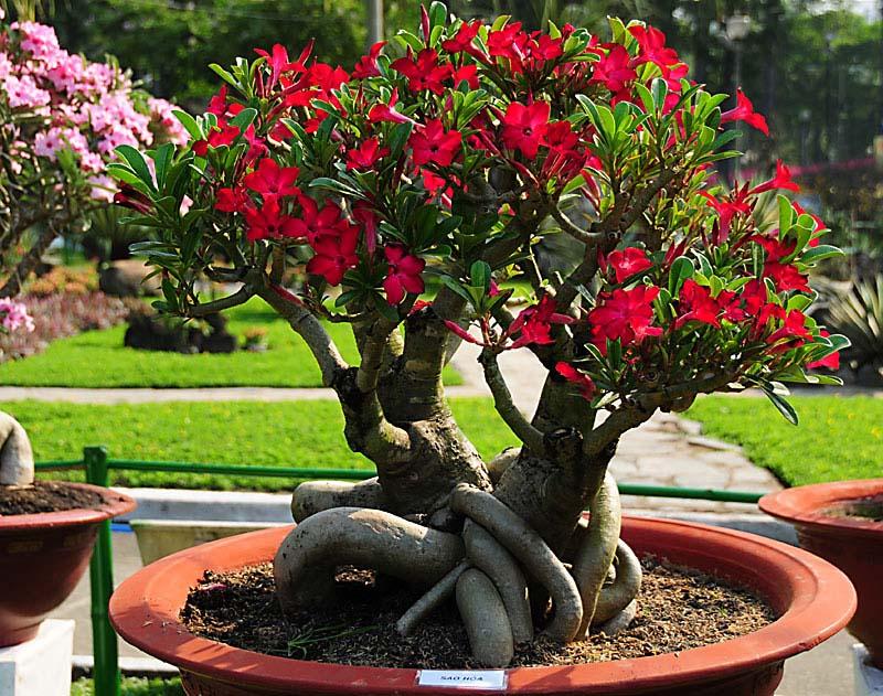 адениум с красными цветами