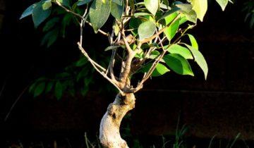 Бонсай из фикуса каучуконосного