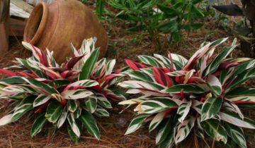 Строманта кроваво-красная