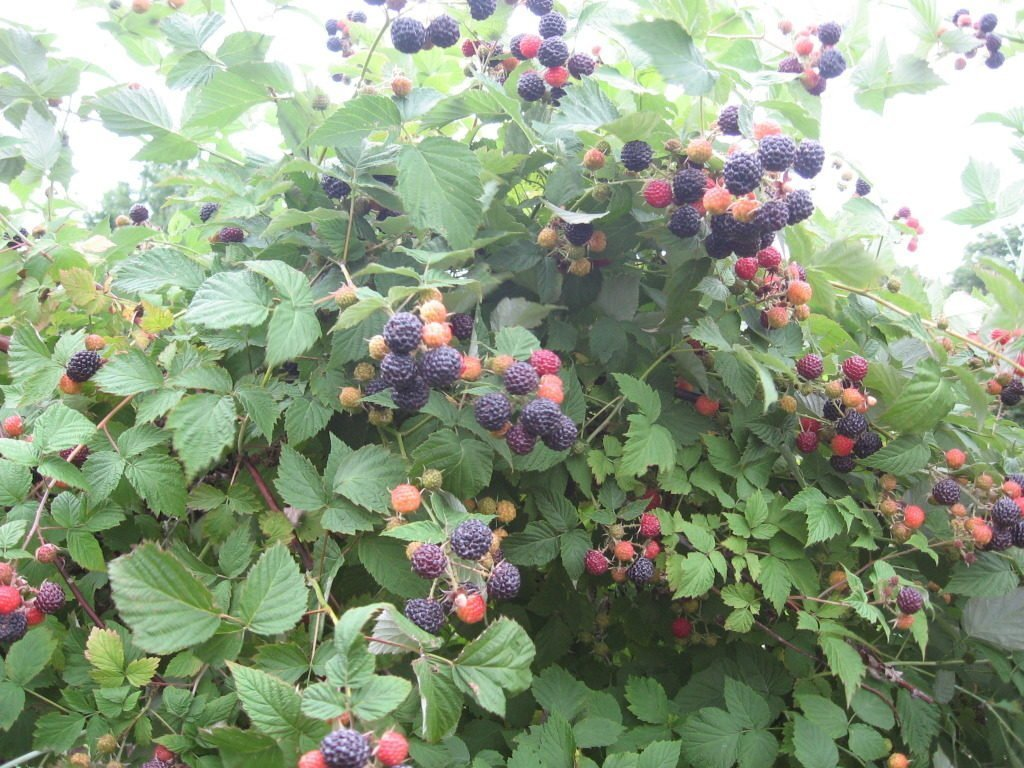 Куст чёрной малины Кумберленд