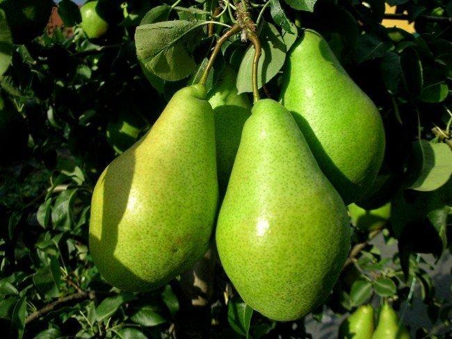 Плоды груши Ноябрьская