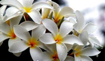 Плюмерия в период цветения