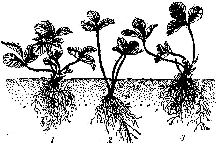 Высадка саженца клубники