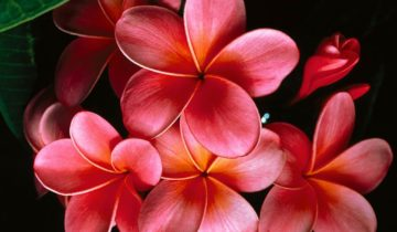 Розовая плюмерия