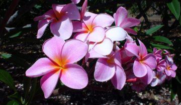Розовые и фиолетовые оттенки цветов плюмерии