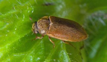 Рыжий малинный жук
