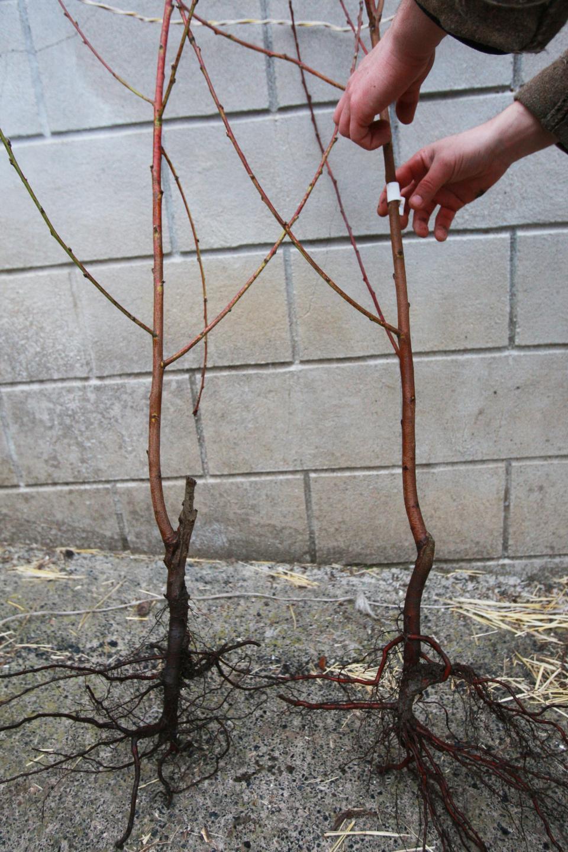 Как правильно посадить сливу весной? - Все в огород