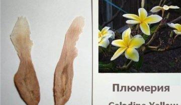 Семена белых и жёлтых плюмерий