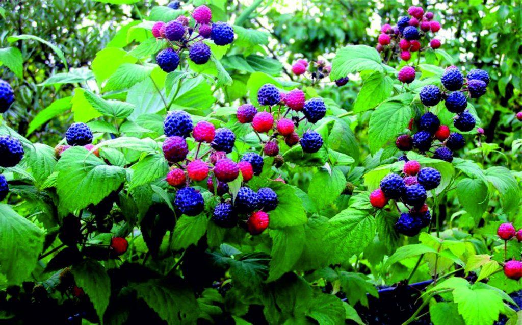Созревание ягод малины Кумберленд
