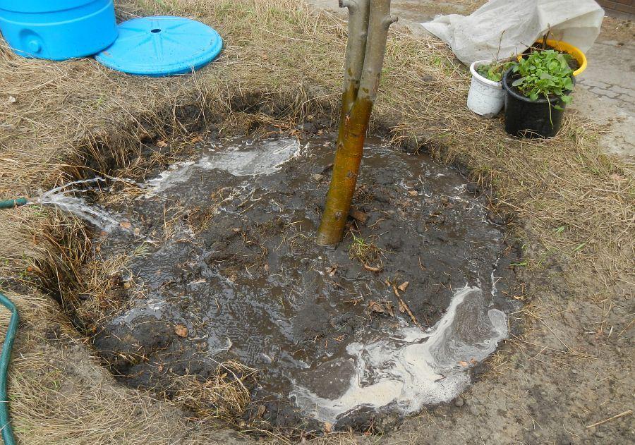 Вода в приствольном круге дерева