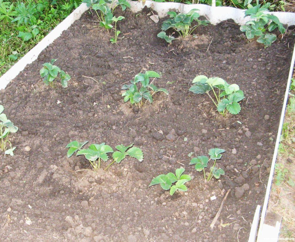 Высадка садовой земляники