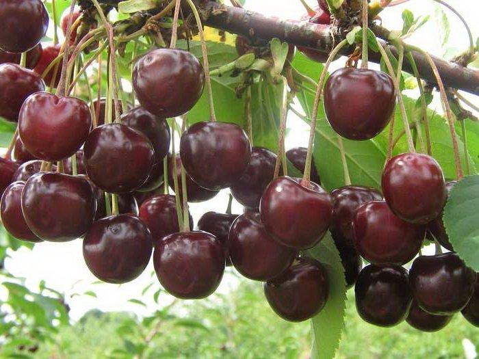Ягоды вишни Шпанка