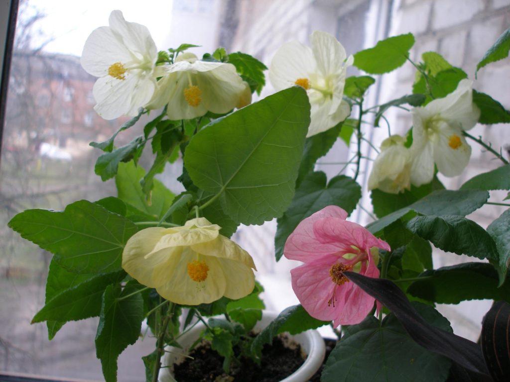 Цветущий абутилон