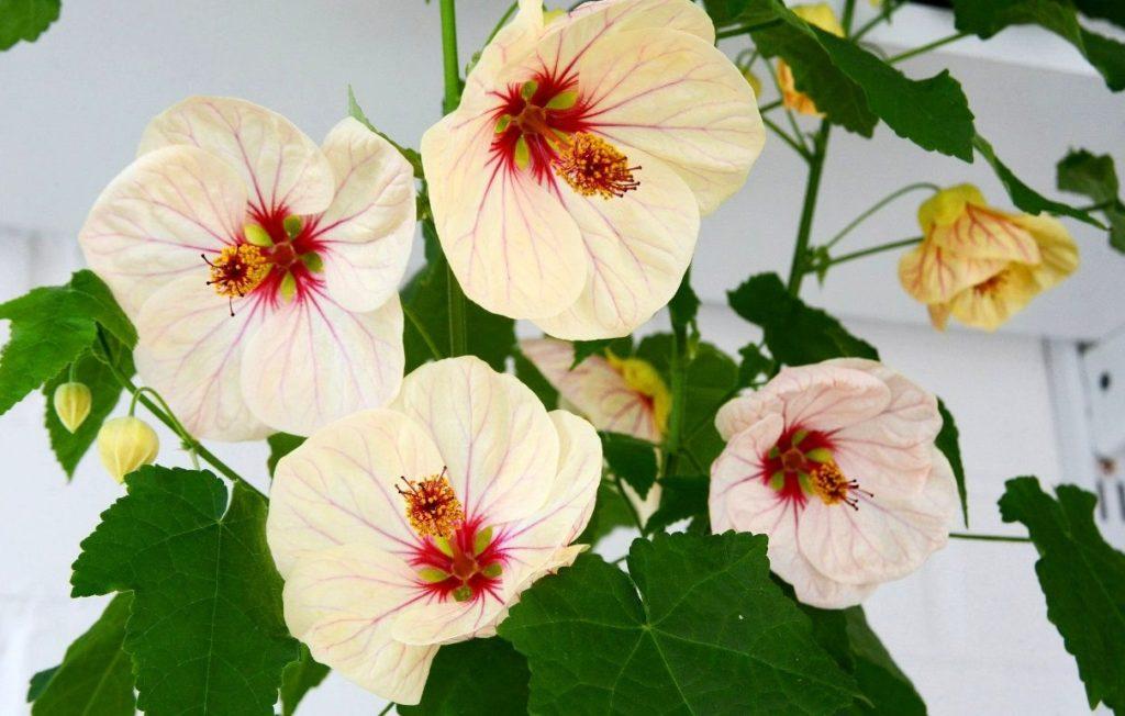 Цветение абутилона