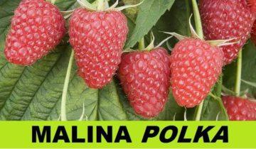 Малина Полька