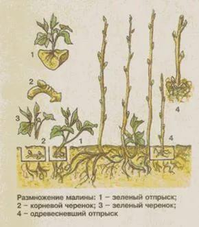 Размножение малины