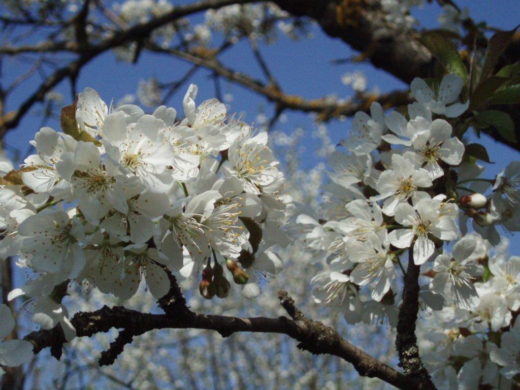 Цветение алычи крупным планом