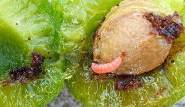 Гусеница плодожорки на мякоти плода