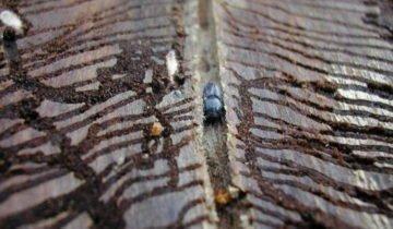 Ходы заболонника в древесине