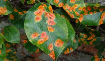 Оранжевые пятна на листьях алычи