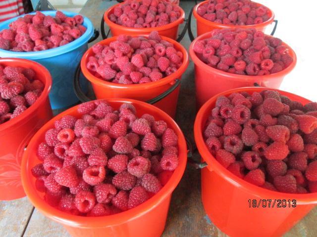 Урожай малины в ведрах