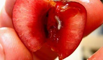 Личинка вишнёвой мухи