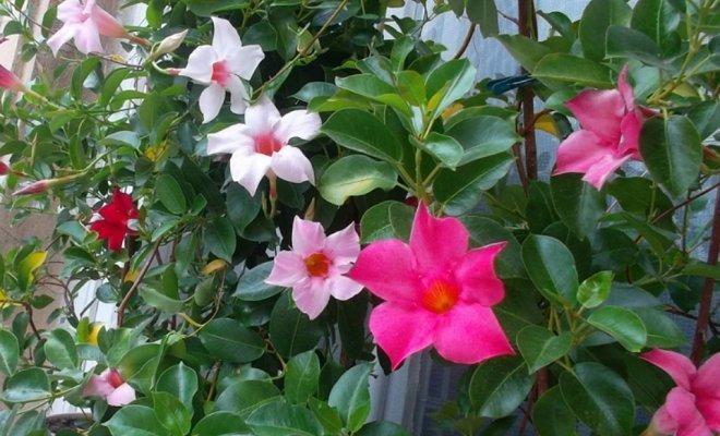 Цветение лианы