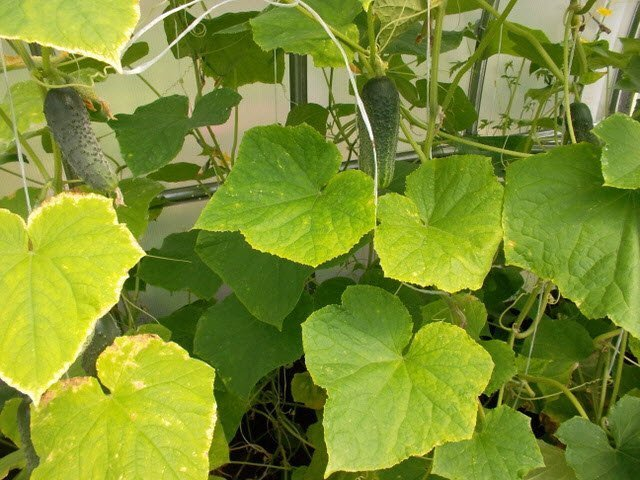 Пятна на листьях огурцов и засыхание краев