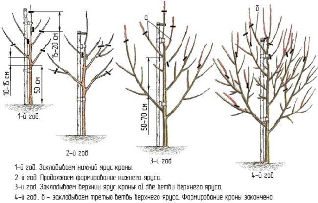 Схема ярусной обрезки груши