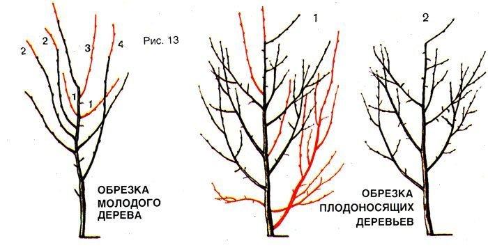 Правила обрезки сливовых деревьев