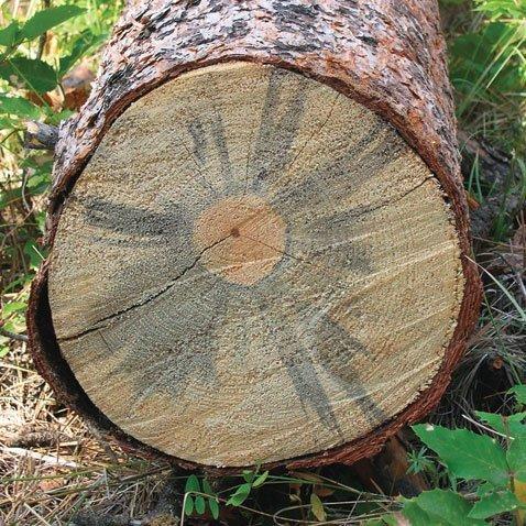 Грибок на срезе дерева
