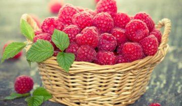 Крупноплодный сорт малины Краса России