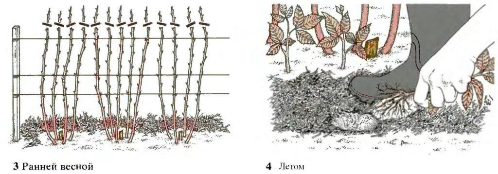 Обрезка малины во второй и последующие годы