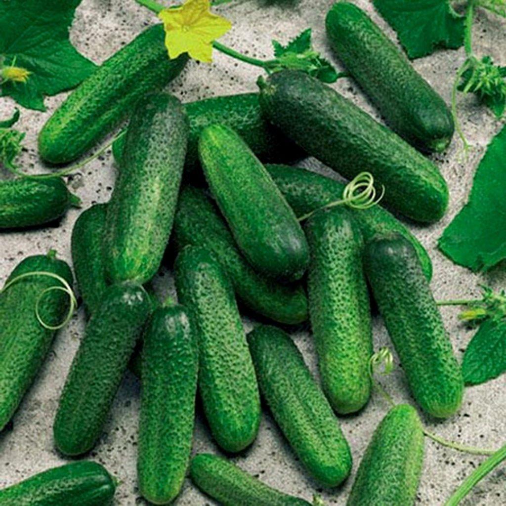 Зеленцы сорта Клавдия F1