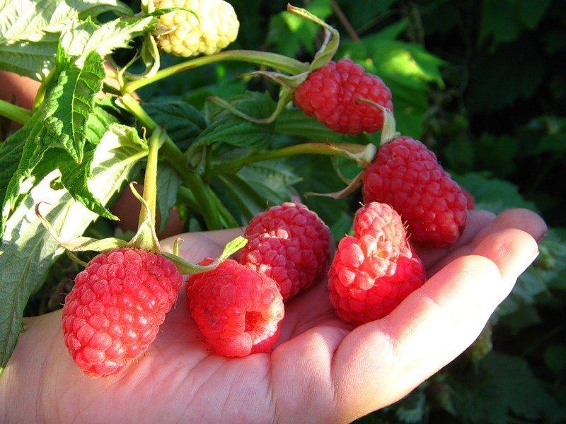 Урожай малины Краса России