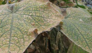 Паутинный клещ на огуречном листе