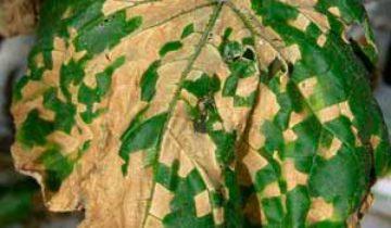 Пероноспороз на огуречном растении