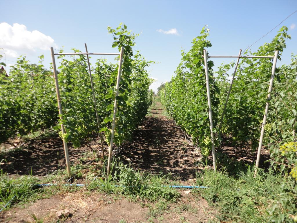 Шпалеры для винограда своим руками