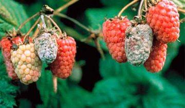 Серая гниль на ягодах малины